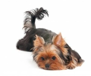 Teacup Yorkies A Amazing Dog To Own