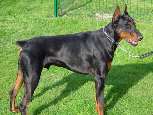 Can the dobermann pinschers be your perfect pet choice?