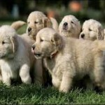 Find the Easiest Way of Choosing Dogs for Sale Online