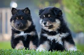 Facts Revolving Around Crossbred Puppies For Sale