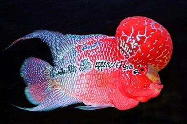 Tips for Buying Red Dragon Flowerhorn Fish